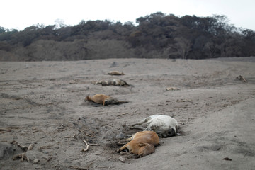 Dead cattle are seen at an area affected by the eruption of the Fuego volcano at El Rodeo in Escuintla