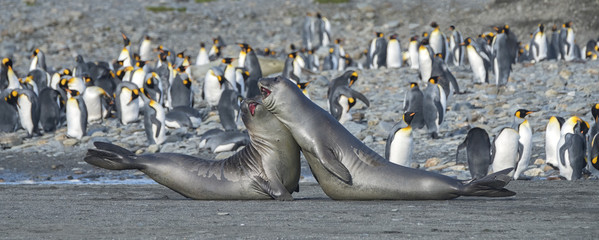 Aluminium Prints Antarctica Young Elephant Seals Practicing Mock Fighting, South Georgia Island, Antarctic