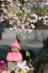 本覚寺の桜(神奈川県・鎌倉市)