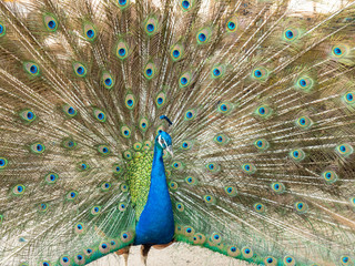Colorful peacock bird with spreading its feathers out.