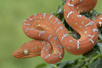 Baby Emerald Tree Boa - Juvenile Red Phase