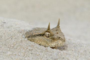 Desert Horned Viper (Cerastes cerastes) Hiding in Sand