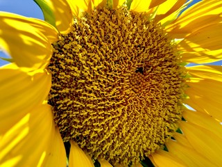 Fototapete - Closeup of a bright yellow sunflower in natural light