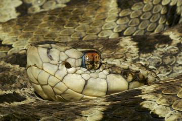 Venomous Fer-De-Lance Snake (Bothrops asper)