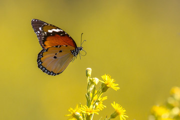 Flying Plain tiger butterfly