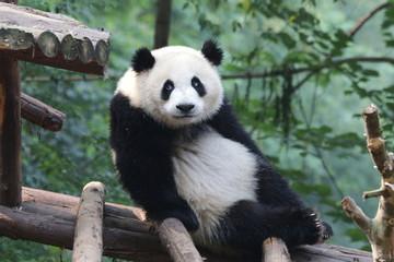 Funny Fluffy Giant Panda, China