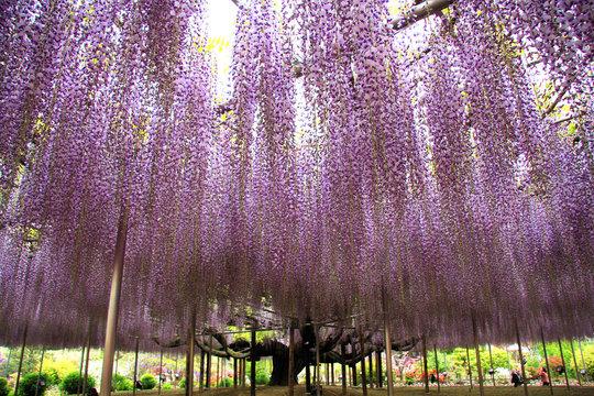 藤の花(栃木県・足利市)