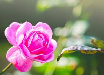 Beautiful single pink rose in garden