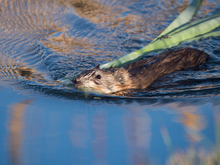 A North American Beaver Swimming in Blue Water with Reeds in its Mouth