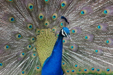 Closeup of a beautiful Peacock dancing with shiny blue and green feathers.