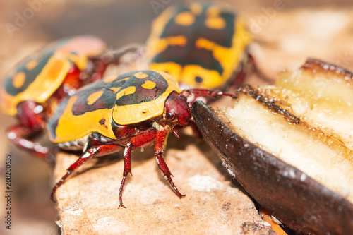 yellow-black beetle