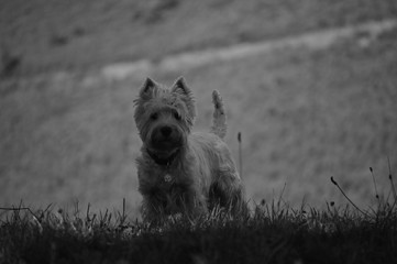 Dog Weth Highland White Terrier Playing In The Meadows Of The Mountains Of Galicia. Photography In Black And White. Travel Animals Nature. August 18, 2016. Rebedul, Becerrea Lugo Galicia Spain.