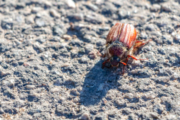 May beetle close-up on the asphalt