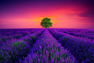 Fotorolgordijn Violet Tree and lavender field in Provence