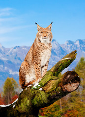 Photo sur Plexiglas Lynx Lynx, Eurasian wild cat