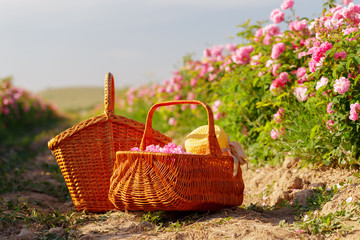 Aluminium Prints Picnic Basket with flower from pink oil roses.