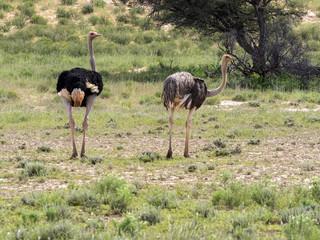 Pair Ostrich, Struthio camelus, Kalahari, South Africa