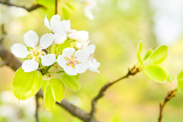 Blossom pear tree in white flowers and green background