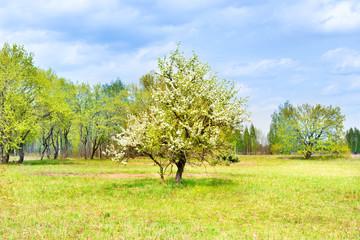 Pear tree in white flowers on green field