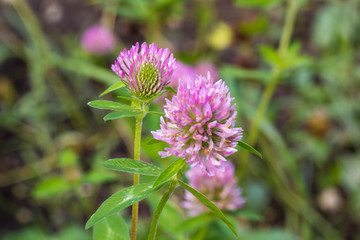 flower of a pink clover grows in the field with a green grass