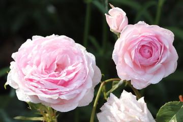 englische Rose in Pink mit Regentropfen
