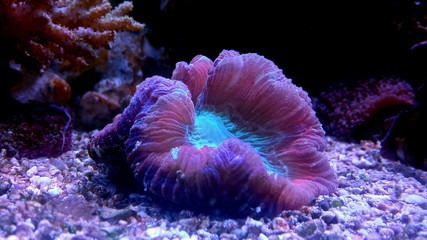 Open brain coral in reef aquarium tank