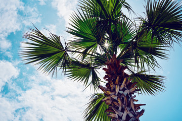 Bottom view of the green fluffy branches of a palm tree in the sun, against the blue sky with clouds