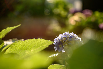 夕日を浴びる紫陽花