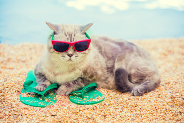 Cat wearing sunglasses lying on the beach on flip flop sandals in summer