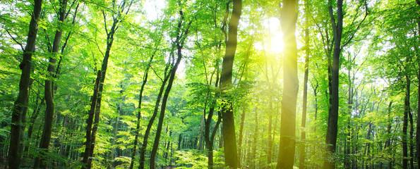 Fototapeta Summer forest with sun light.