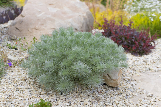 Artemisia santonicum Medicinal plant used in medicine