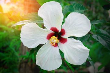 white hibiscus flower in garden