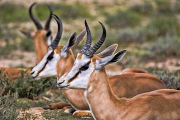 Portrait Springbok, Antidorcas marsupialis, Kalahari South Africa