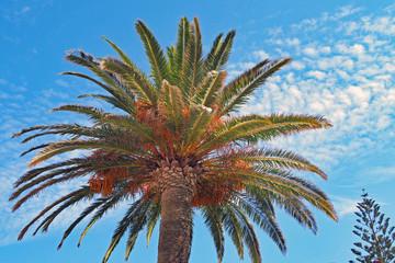 Spanische Palme