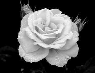 Johann Strauss Rose/A magnificent black and white photography of a Johann Strauss Rose.