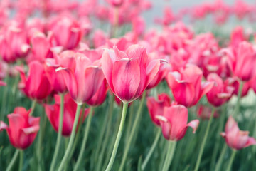 flowerbed with flowers of red tulips