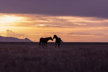 Wild Horse Stallions in a Utah Desert Sunset