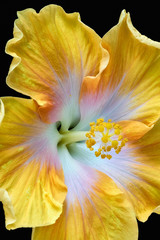 Floral color macro flower image of a the pistil of a single isolated blooming open yellow hibiscus blossom with detailed texture