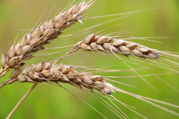 Agriculture, agronomy and farming background. Spikes of ripe wheat on a green background with ripe grains close up. Good for card, poster or banner.