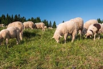 Schafherde in den Bergen. Schafsmilch für Schafskäse und Butter.