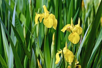 blooming yellow irises between fresh green leaves and several buds