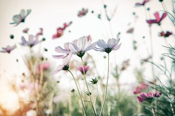 Fototapete - Bautiful damatic tone cosmos flower in the garden