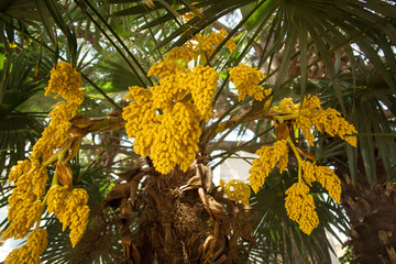 blooming green tree with fruit in a tropical climate