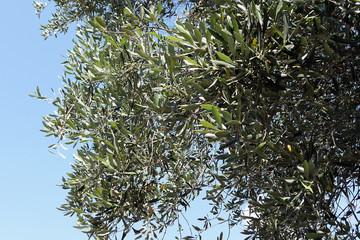 olive tree agian blue sky at plantage on corfu island greece