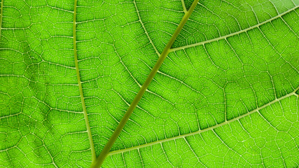 Fototapete - green mulberry leaves texture - background