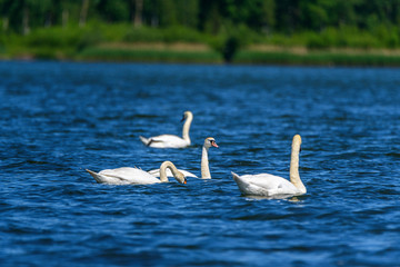 a flock of swans swimming in the lake