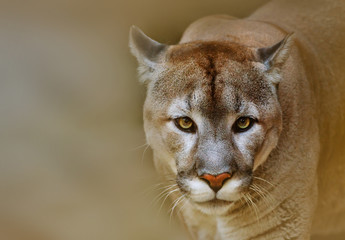 Photo sur Aluminium Puma Cougar looking at camera