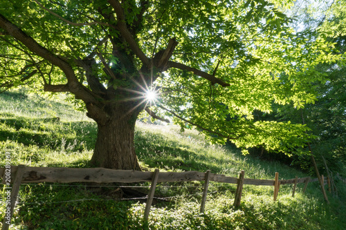 Wall mural summertime tree in lush green with sunlight shining through and a rusticv fence and road in the foreground
