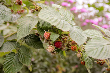Ripe raspberry on branches with green leaves