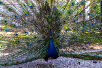 the peacock dissolved his tail
